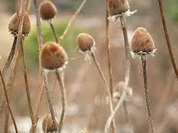 seedhead2