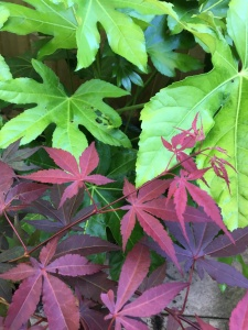 Acer and Fatsia Foliage