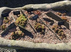 Stone trough with Sempervivum