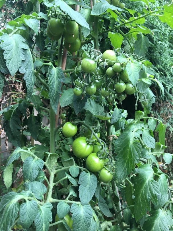 Standard Pruned Tomatoes