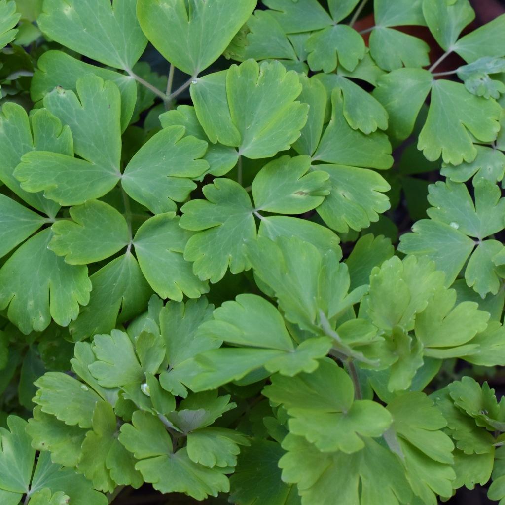 Aquilegia Leaves