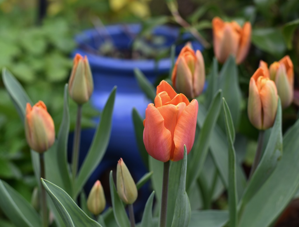 Tulip 'Jimmy'