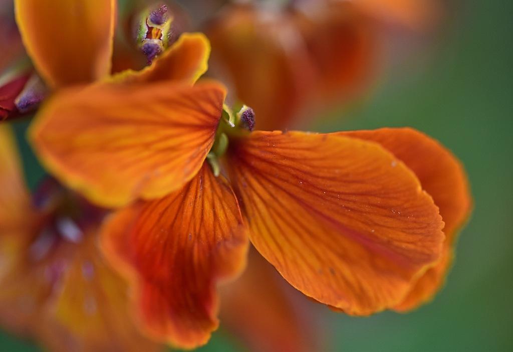 Orange Wallflower Detail