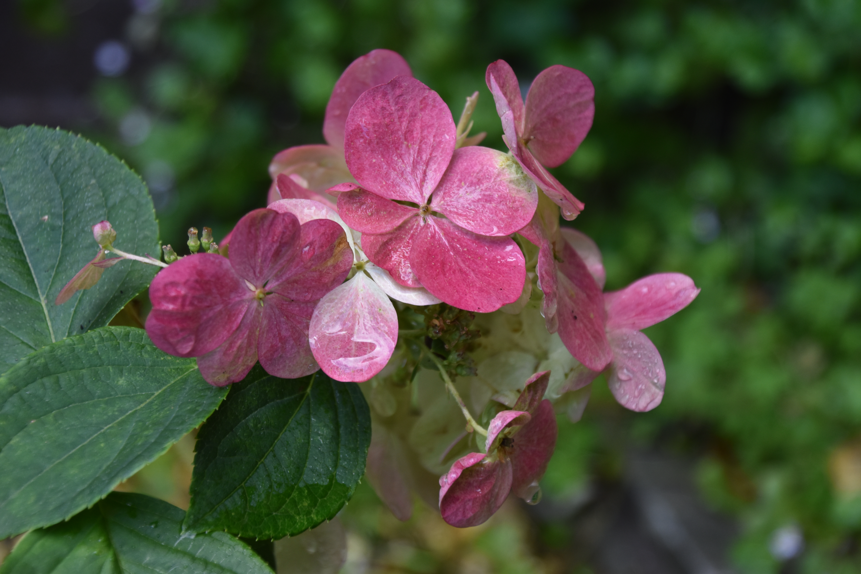 Hydrangea paniculata 'Magical Fire'