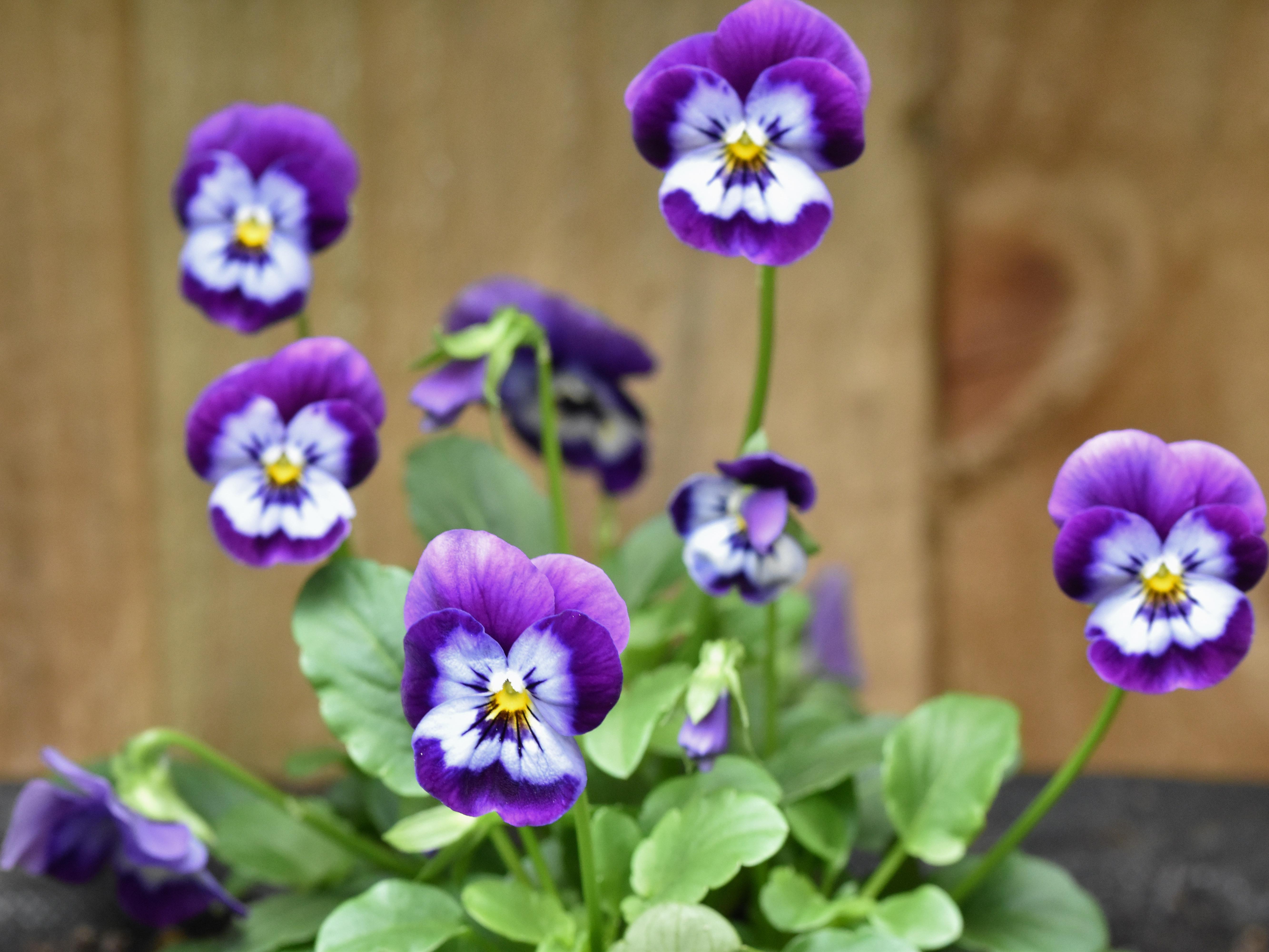 Purple Viola