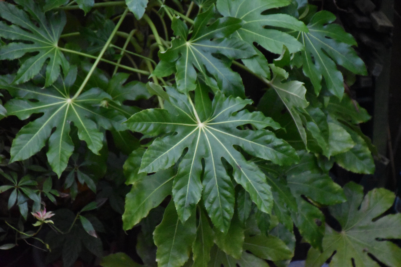 Fatsia Leaves