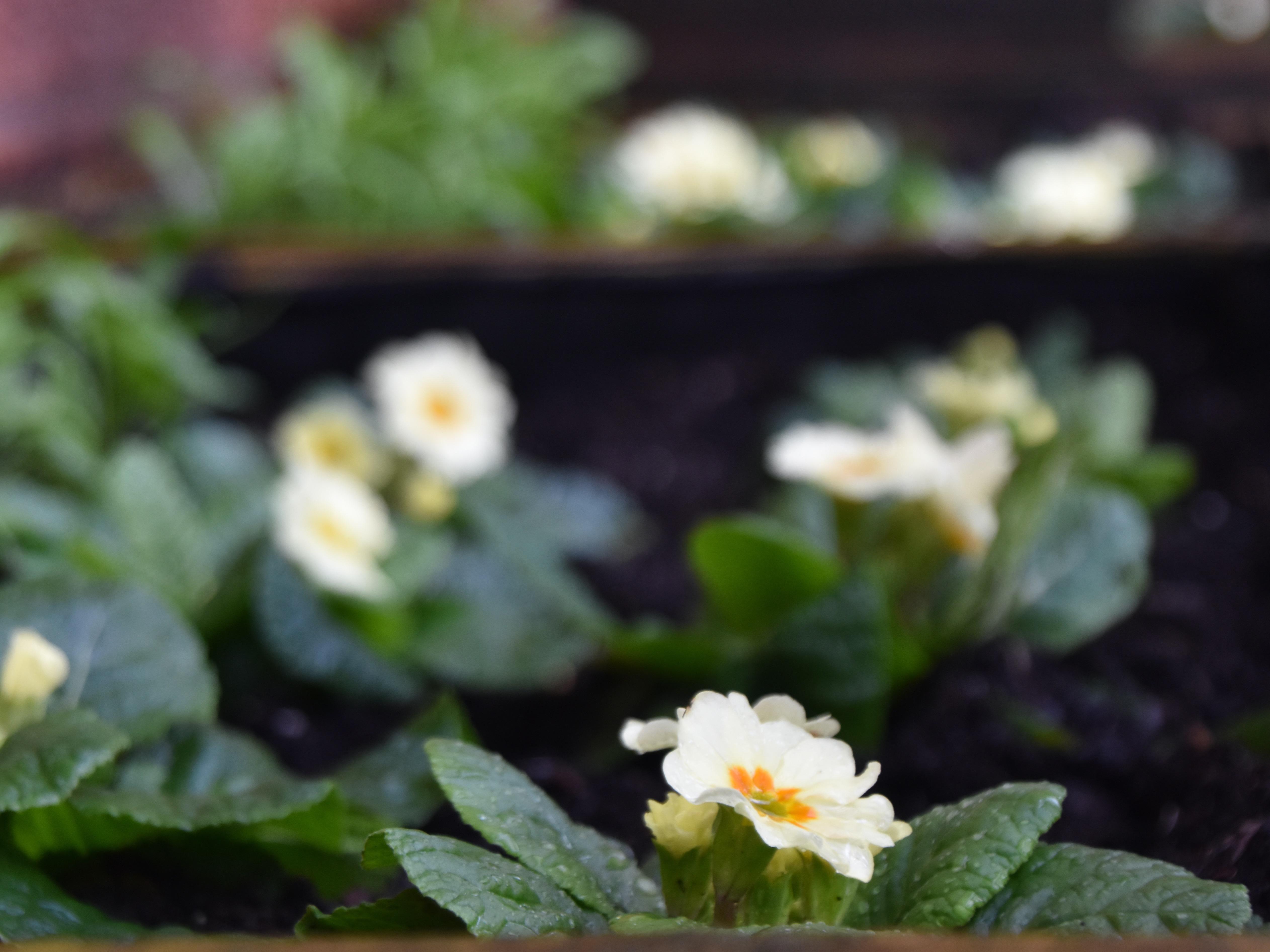 Primrose Planters