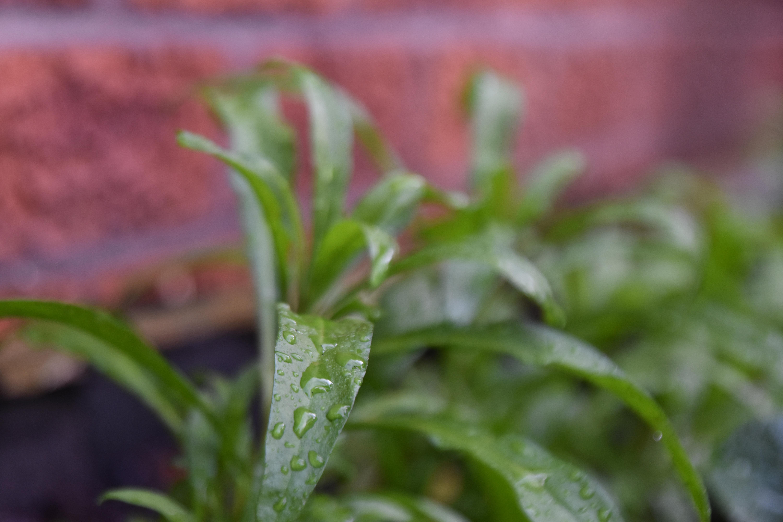 Wallflower Leaf